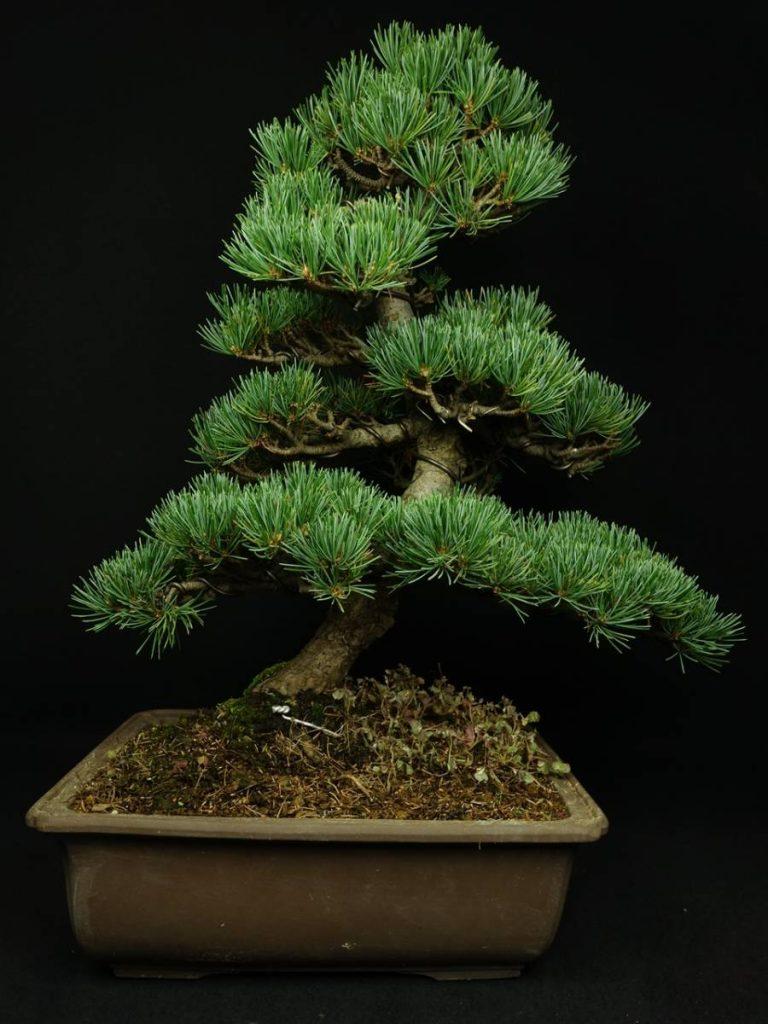 【骨董品 その他】松盆栽「斜幹」を買取り致しました。