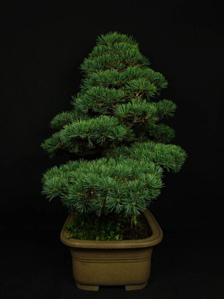 【骨董品 その他】松盆栽「直幹」を買取り致しました。