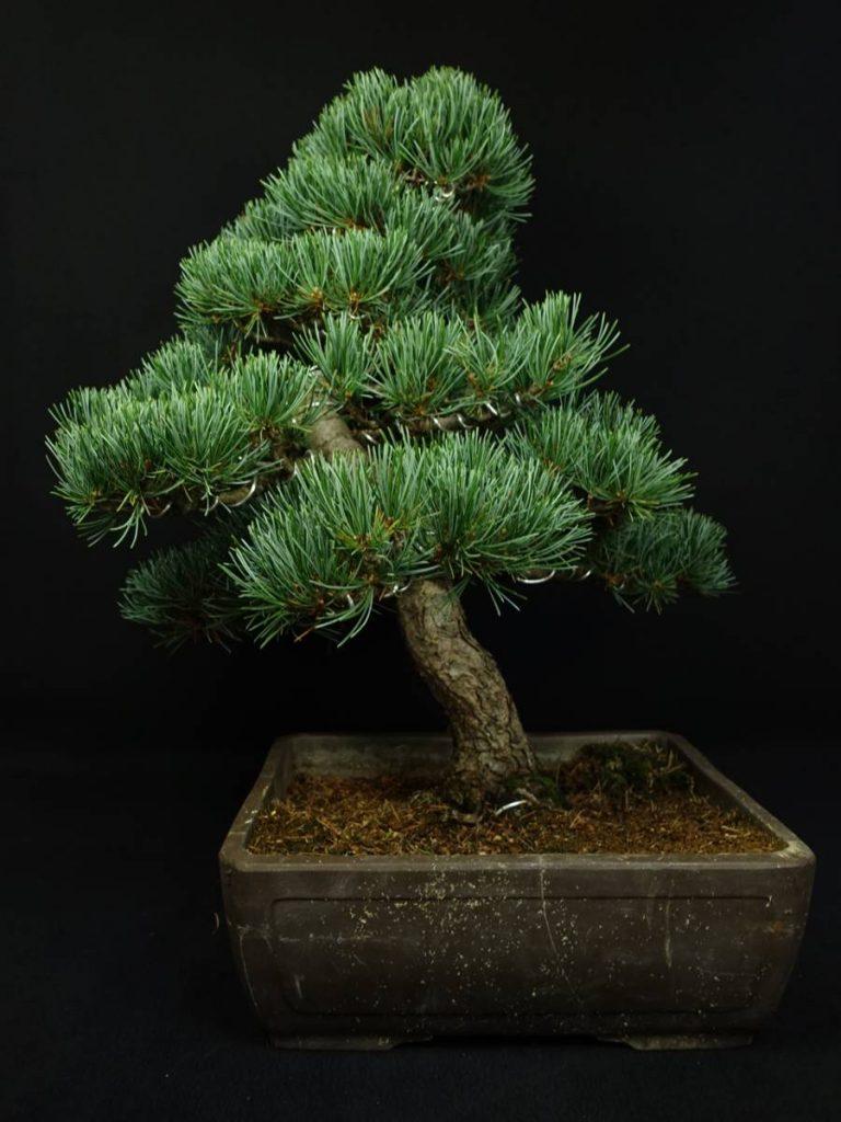 【骨董品・その他】無銘「松盆栽」を買取り致しました。